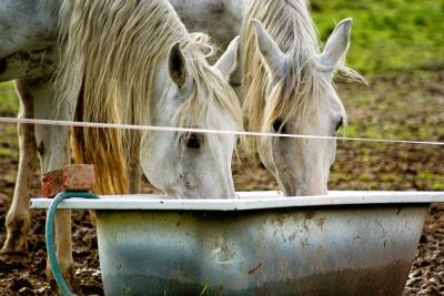 Hester drikker vann fra badekar