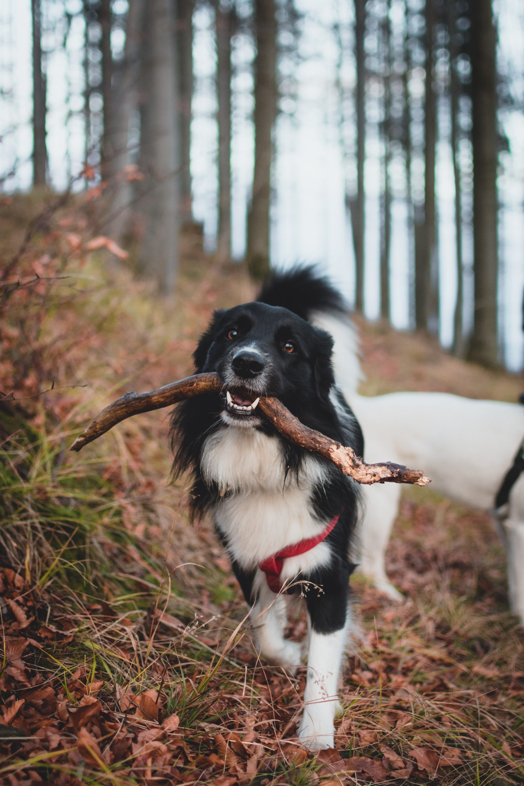 Hund som bærer pinne